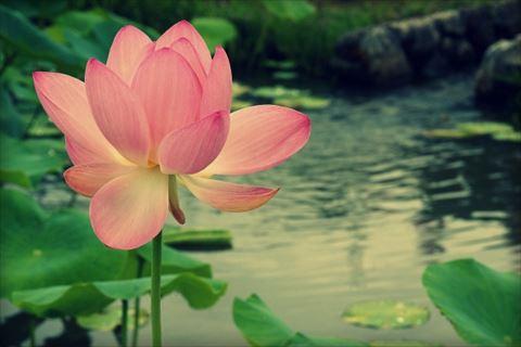 lotus flower_R.jpg